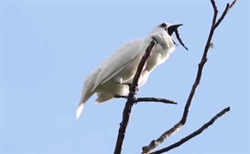 アマゾンで世界一大きな声で鳴く鳥「スズドリ」が観測されたという話:ひるおび!【2019/10/24】