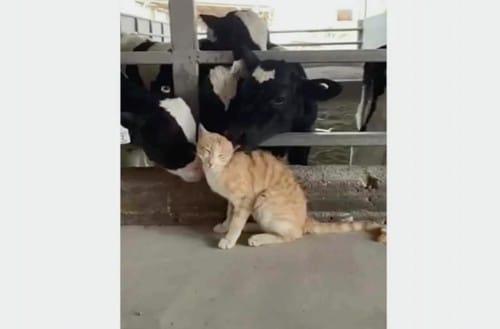 猫が好きな牛の愛情表現?という話:スッキリ!【2020/05/05】