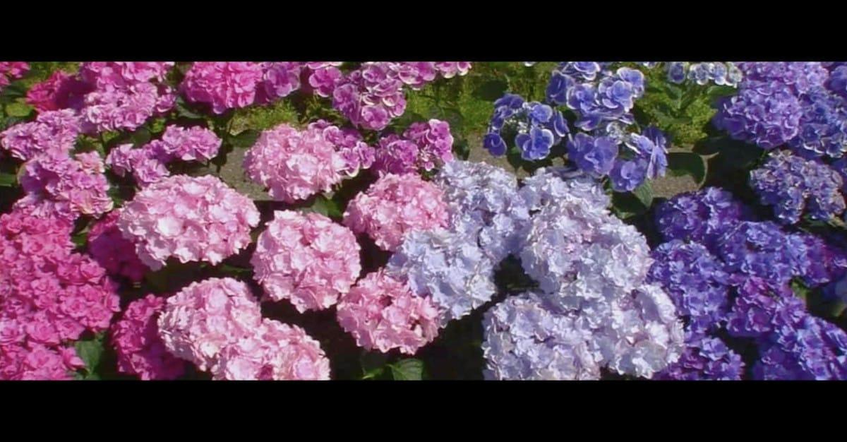 アジサイの色は種類じゃない!?という話:日本人の3割しか知らないこと【2020/06/11】