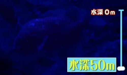 深海のタイ