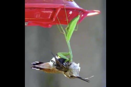 鳥を捕まえるカマキリ