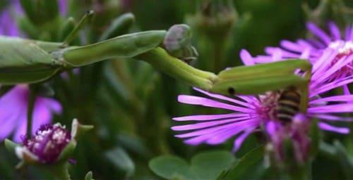 ハチを捕まえるカマキリ