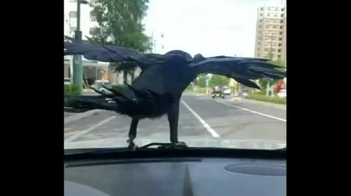 飛ぶフリをするカラス